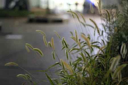 2009.09.05 駅前広場 エノコログサ