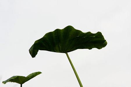 2009.10.04 和泉川 サトイモの葉