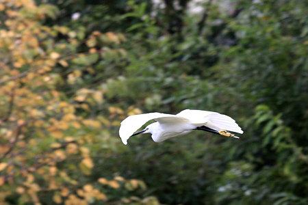 2009.11.01 和泉川 コサギ 飛翔