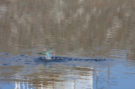 2011.01.12 和泉川 カワセミ 着水