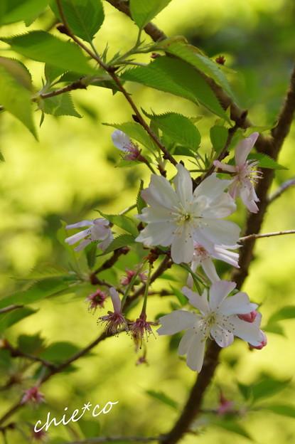 写真: 十月桜。。
