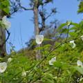 写真: 白花山吹。。