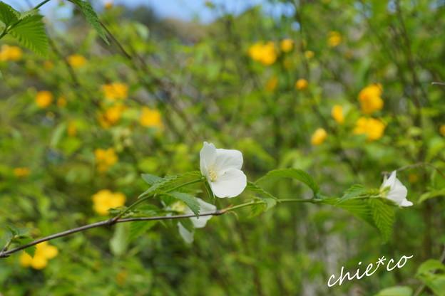 写真: 白と・・黄と・・山吹。。