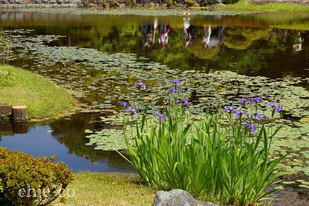 那須桧扇菖蒲(なすひおうぎあやめ)の咲く池。。