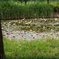 写真: 睡蓮池。。