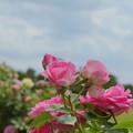 写真: 花菜ガーデン-254