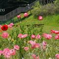 写真: くりはま花の国-289