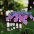 写真: 瀬戸神社~山あじさい-377