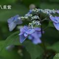 写真: 瀬戸神社~山あじさい-386