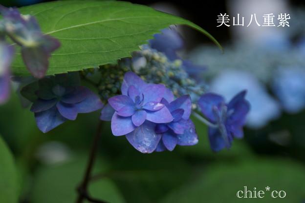 瀬戸神社~山あじさい-387