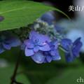 写真: 瀬戸神社~山あじさい-387