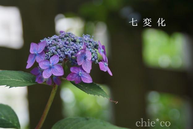 瀬戸神社~山あじさい-396