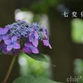写真: 瀬戸神社~山あじさい-396