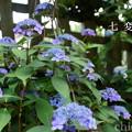 写真: 瀬戸神社~山あじさい-397