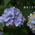 写真: 瀬戸神社~山あじさい-398