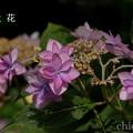 写真: 瀬戸神社~山あじさい-411