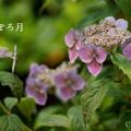 写真: 瀬戸神社~山あじさい-414
