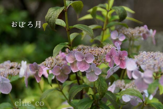 瀬戸神社~山あじさい-415