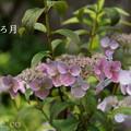 写真: 瀬戸神社~山あじさい-415