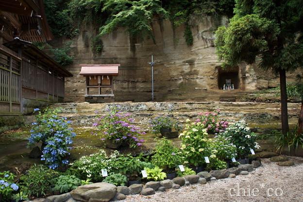 写真: 瀬戸神社~山あじさい-428