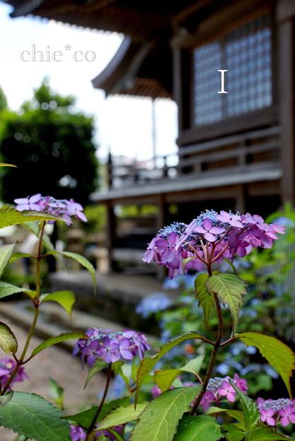 瀬戸神社~山あじさい-434