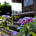 写真: 瀬戸神社~山あじさい-434