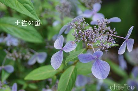 瀬戸神社~山あじさい-437