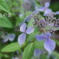 写真: 瀬戸神社~山あじさい-437