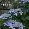 写真: 瀬戸神社~山あじさい-438
