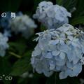 写真: 瀬戸神社~山あじさい-440