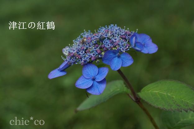 瀬戸神社~山あじさい-450