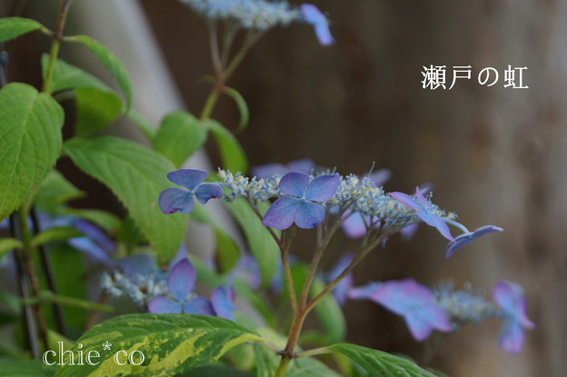 写真: 瀬戸神社~山あじさい-454