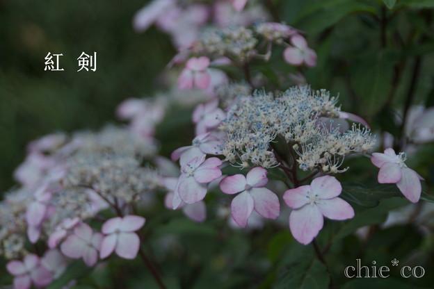 瀬戸神社~山あじさい-457