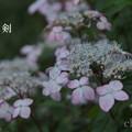 写真: 瀬戸神社~山あじさい-457