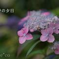 写真: 瀬戸神社~山あじさい-461