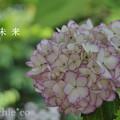 写真: 瀬戸神社~山あじさい-467
