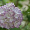 写真: 瀬戸神社~山あじさい-468