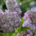 写真: 瀬戸神社~山あじさい-469