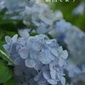 写真: 瀬戸神社~山あじさい-470