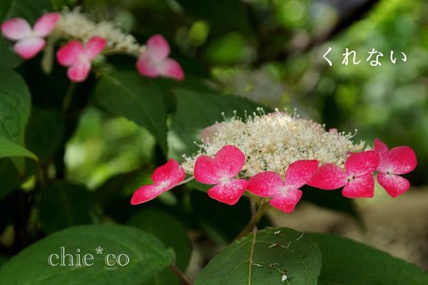 写真: 瀬戸神社~山あじさい-473