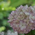 写真: 瀬戸神社~山あじさい-476