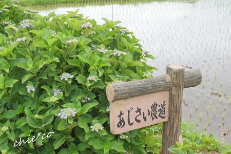 開成町~あじさい-106