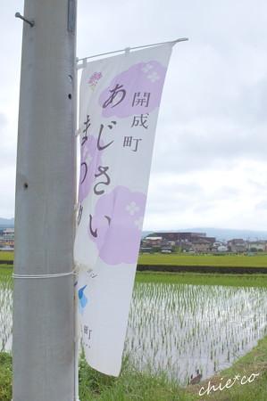 開成町~あじさい-107