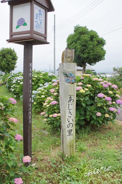 開成町~あじさい-109