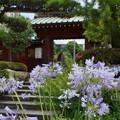 写真: アガパンサス咲く・・大巧寺-003