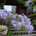 写真: アガパンサス咲く・・大巧寺-004