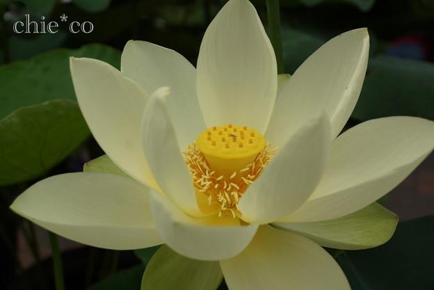 写真: 蓮の花~淡黄光(たんきこう)~