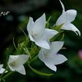 写真: 白花桔梗(ききょう)。。