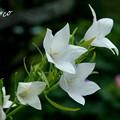 写真: 白花桔梗(しろばなききょう)。。