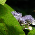 写真: 玉紫陽花(たまあじさい)。。